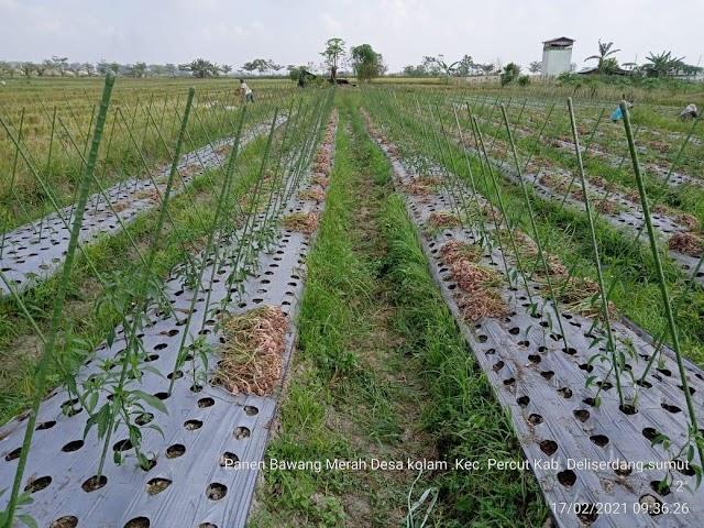 Petani Kampung Kolam Mulai Panen Bawang Merah Bantuan Covid-19