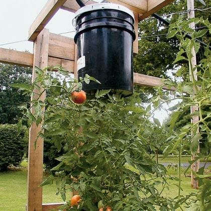 Topsy-Turvy Tomatoes