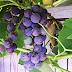 Comment planter une vigne en pot - Comment planter une vigne ...