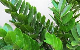 Benefits of leaf dollar for body health