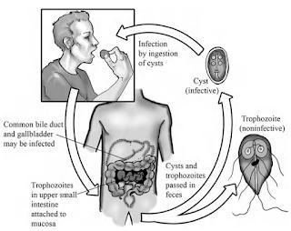 Giardia lamblia, Morfologi, Siklus Hidup, Epidemiologi, Gejala, Diagnosis dan Pengobatan Giardiasis, parasit giardia, giardiasis