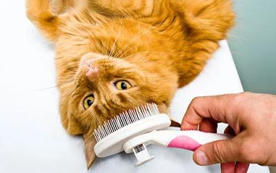 Cara Merawat Kucing di Rumah Kita