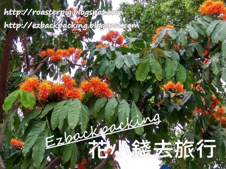香港無憂花