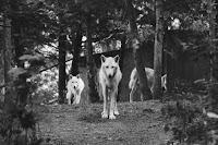Wolves - Photo by Tom Pottiger on Unsplash