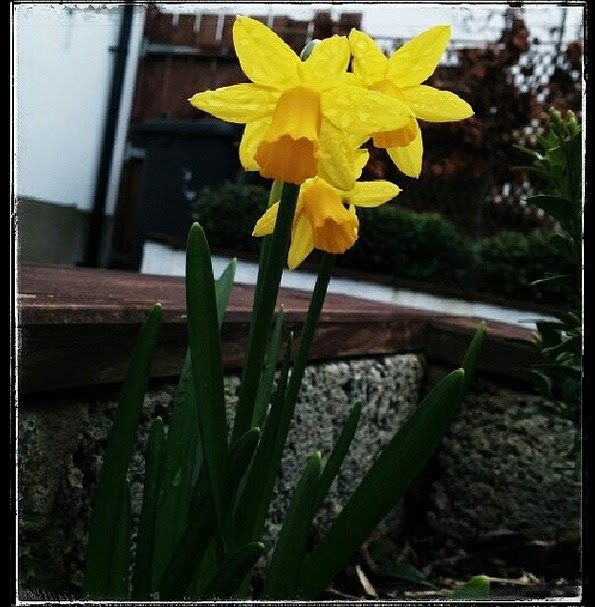 teeny tiny daffs in the garden - 'growourown.blogspot.com' ~ an allotment blog