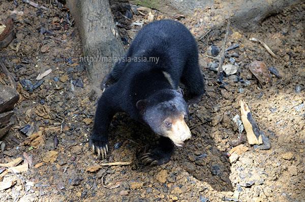 Sun Bear Conservation Sabah