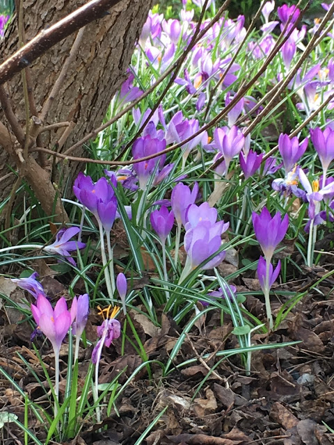 Crocus flowering in Britain #spring #springflowers #crocus