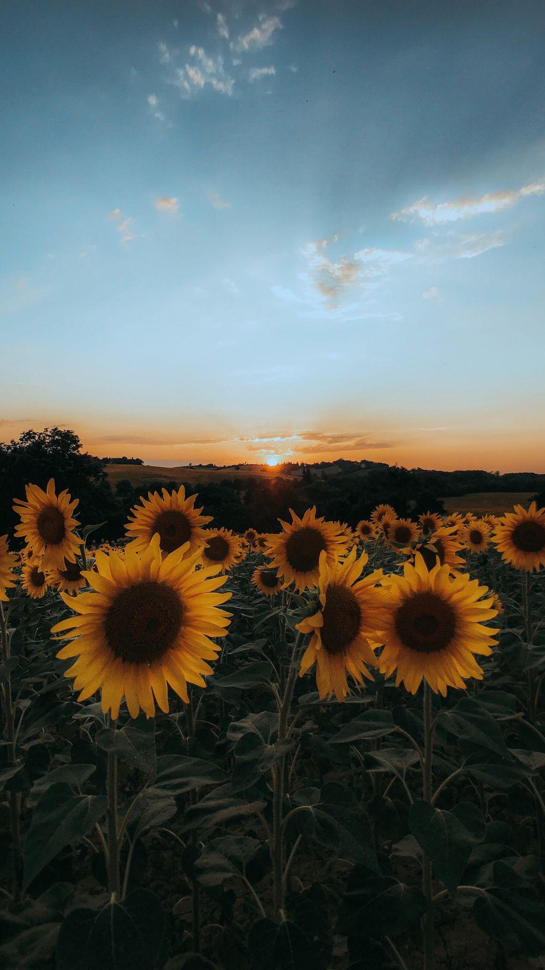 Sunflower Field Sunset hd Wallpaper
