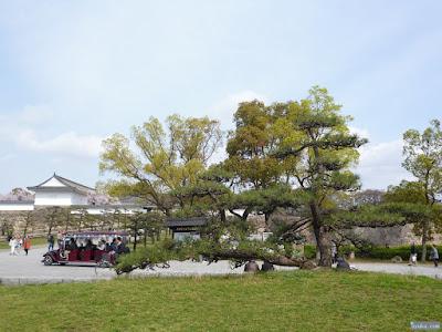 大阪城公園の松