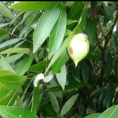 Bunga Dan Buah Pohon Nagasari