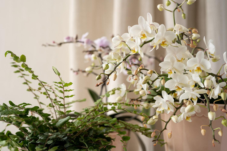 orkidea ja nappipellea