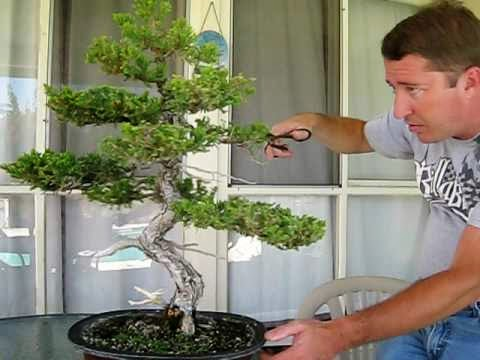 Juniper Bonsai Tree Care