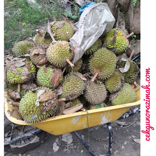 durian kampung, durian kampung murah, durian kampung di banting, beli durian kampung, dusun durian, dusun durian olak lempit, dusun durian di banting