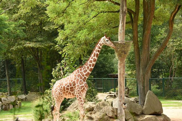 Zoo, Tiergarten Nürnberg, Familienausflug, GrinseStern, Giraffe, Zootiere