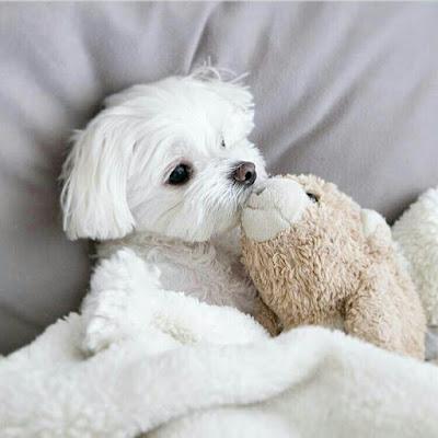 ansiedad en el perro maltes