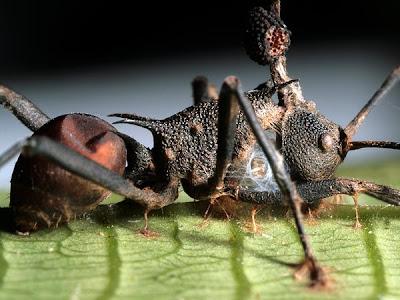 """lantai hutan hujan dipenuhi dengan jenazah Semut Yang Menjadi """"Zombie"""""""