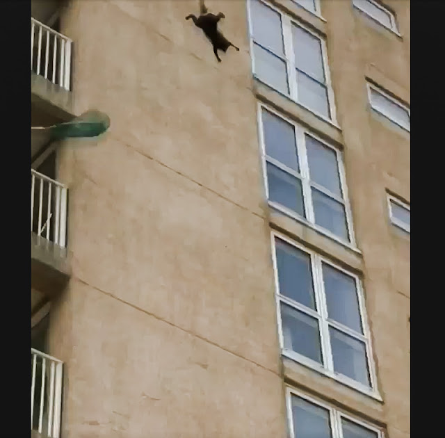 Cat climbing the outside of apartment block falls 6 stories and runs off