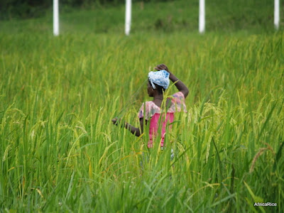 Japan-funded Emergency Rice Project near CARI, Suakoko, Liberia