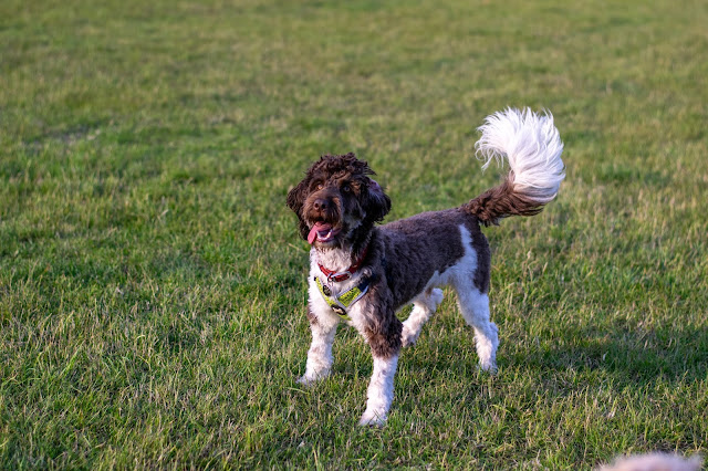 Brown and white cockapoo standing on field with tongue out