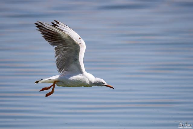 Seagull Flying Over Ripples