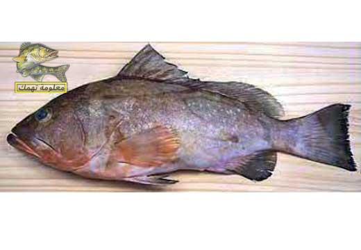 أنواع سمك الوقار