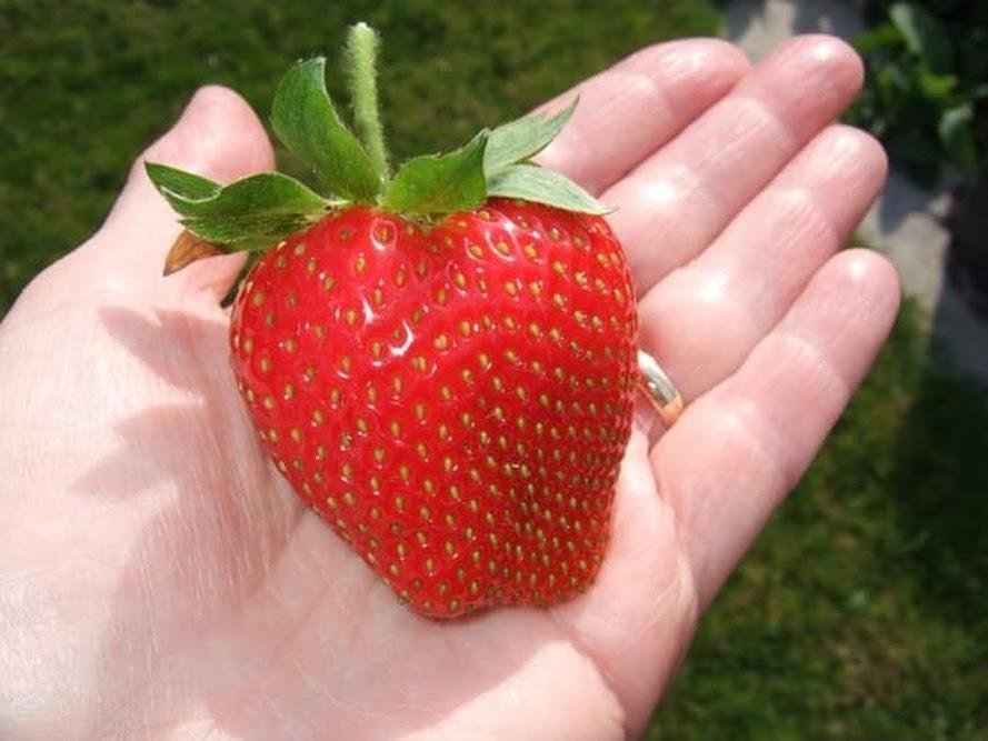 Terlaris Bibit Benih Seeds Fruit Strawberry Giant Biji Buah Strawberi Asli Lampung