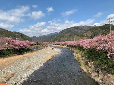 豊泉橋から見た河津桜