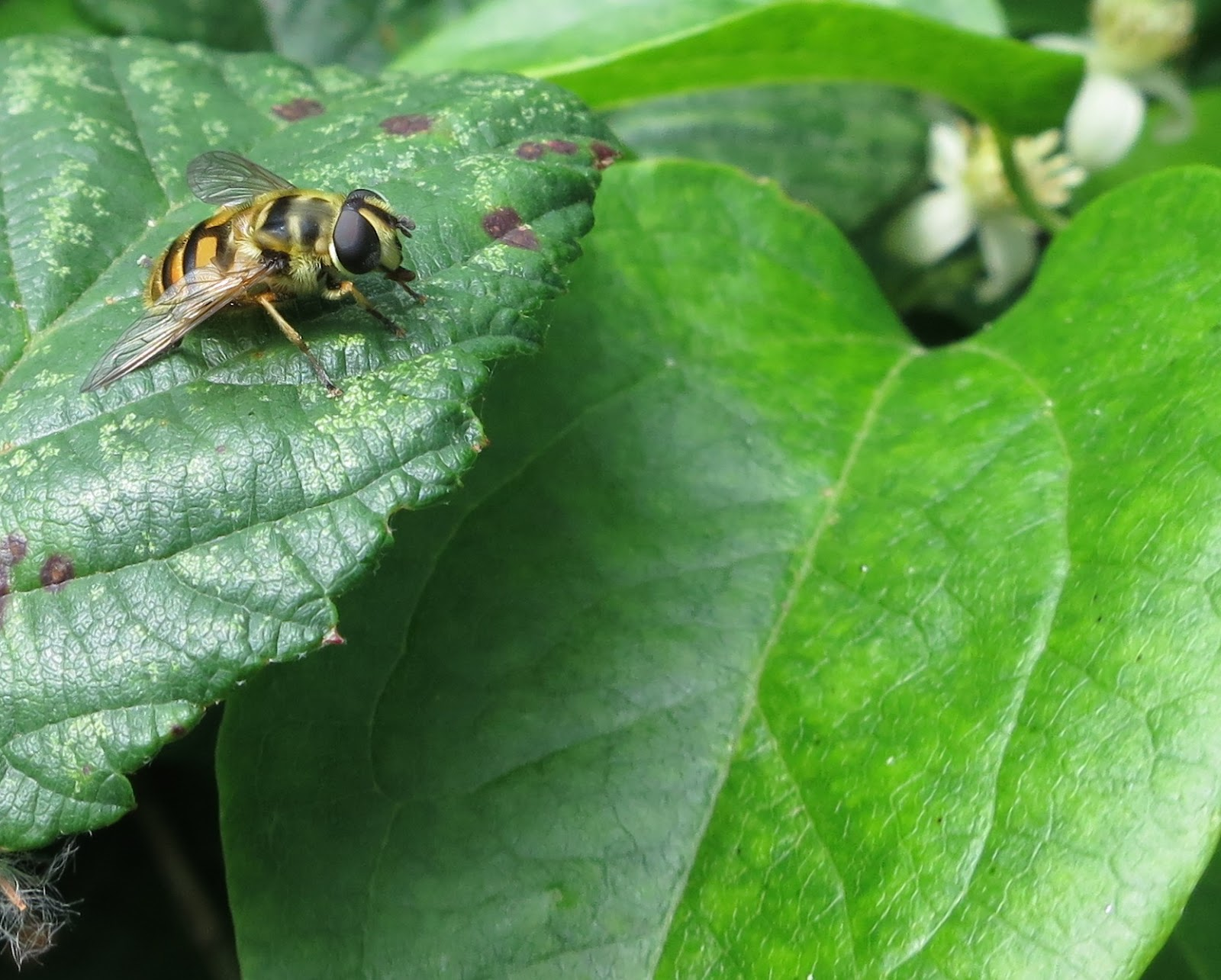 Hoverfly on bramble leaf next to wild clematis leaf and flower
