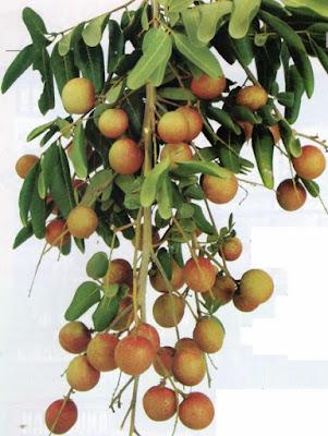 pohon Lengkeng pingpong