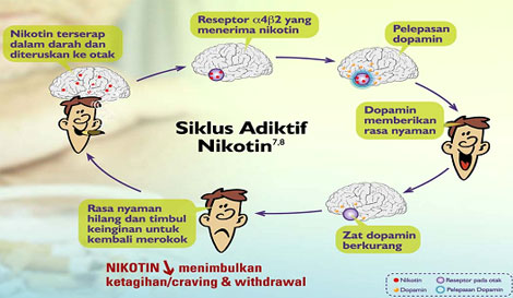 siklus adiktif nikotin