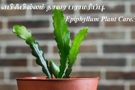 எபிஃபில்லம் தாவர பராமரிப்பு -  Epiphyllum Plant Care.
