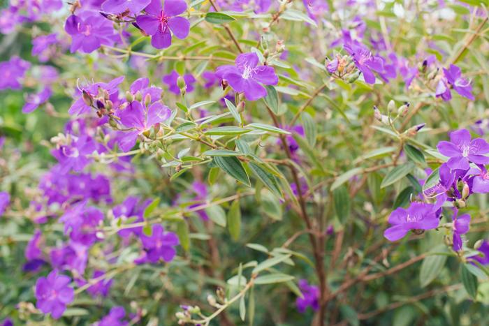 purple flower Tibouchina