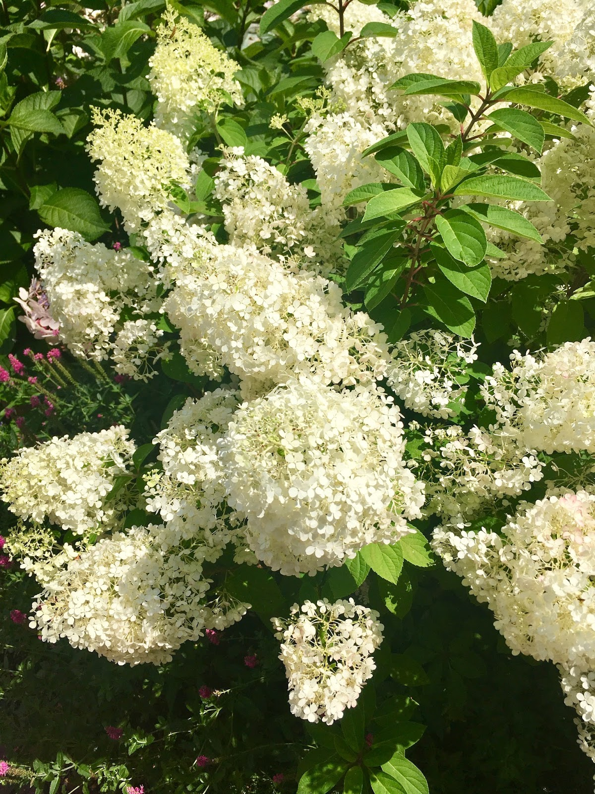 Garden bush with white flowers
