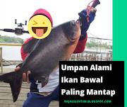 Resep Umpan Ikan Bawal Sederhana Paling Mantap!