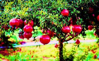 Pomegranate tree Vastu