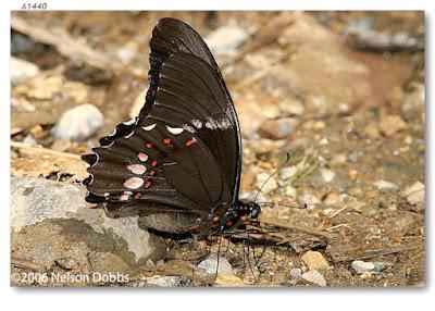 Mariposa mancha rubí (Heraclides anchisiades)