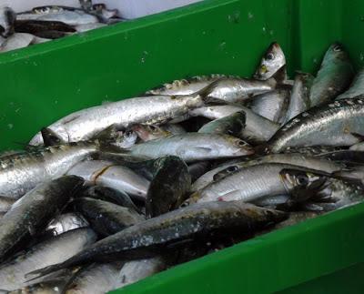 sardinhas na Feira de Espinho