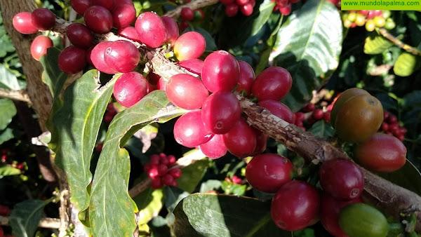 Agricultura cederá este año 2.500 plantas de café para continuar incentivando su cultivo en La Palma