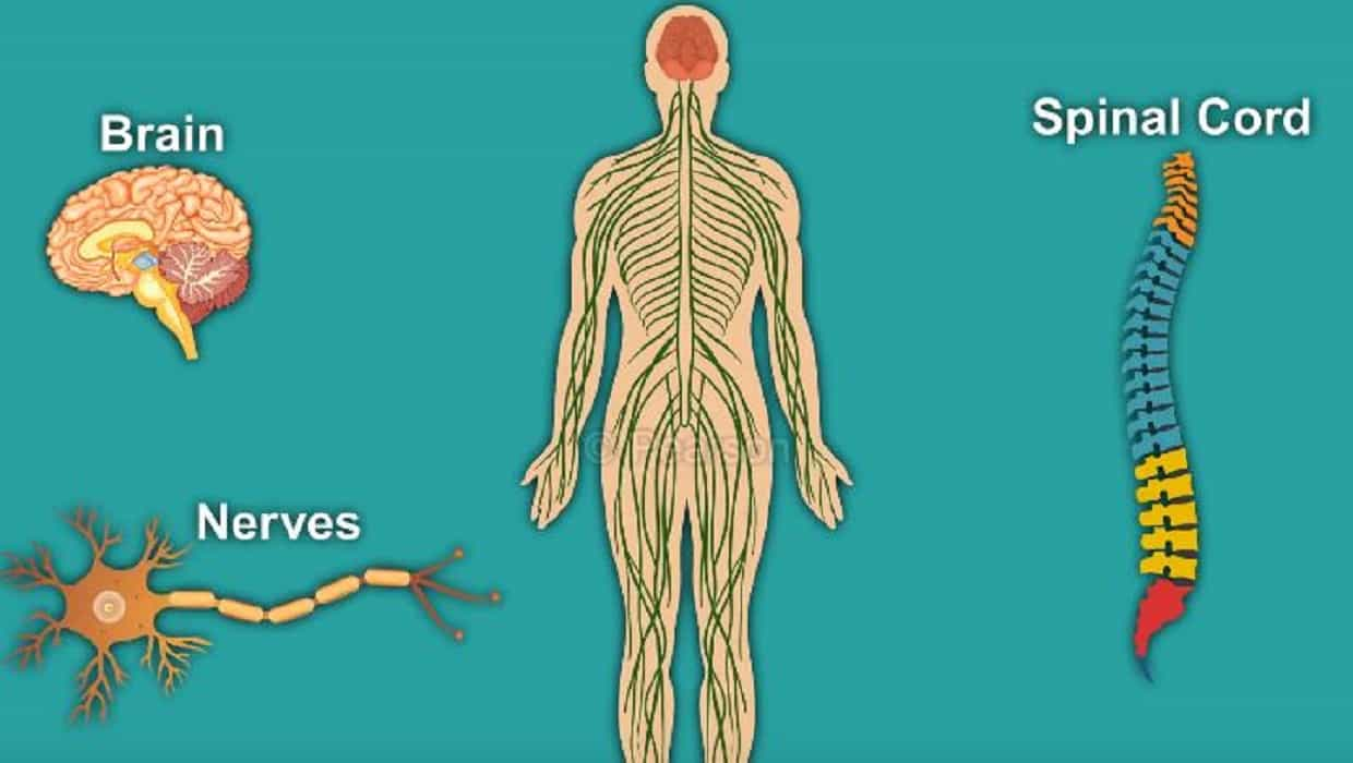 Lack of nervous system may increase the risk of corona
