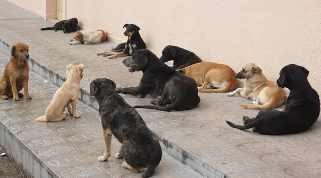 Cabo Verde | Movimento defende castração massiva para reduzir população canina