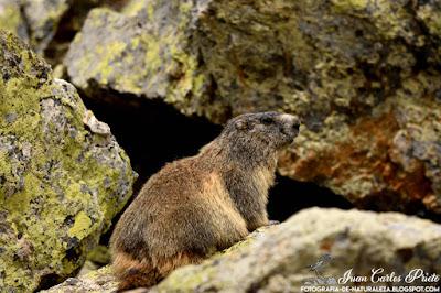 Marmota Alpina (fotografia-de-naturaleza.blogspot.com)