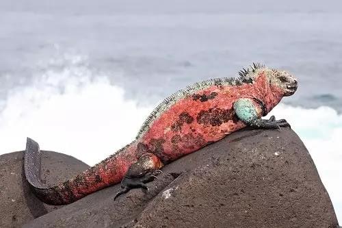 gambar reptil iguana laut