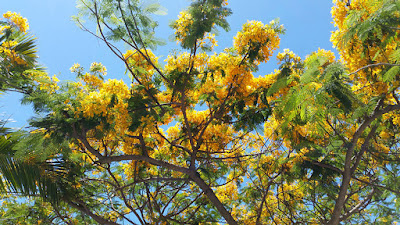 Yellow poinciana tree.