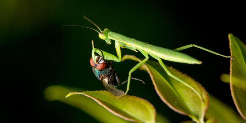 تتغذى السلالات على الحشرات أو الأسماك الصغيرة أو القوارض الصغيرة أو السلالات الأخرى.