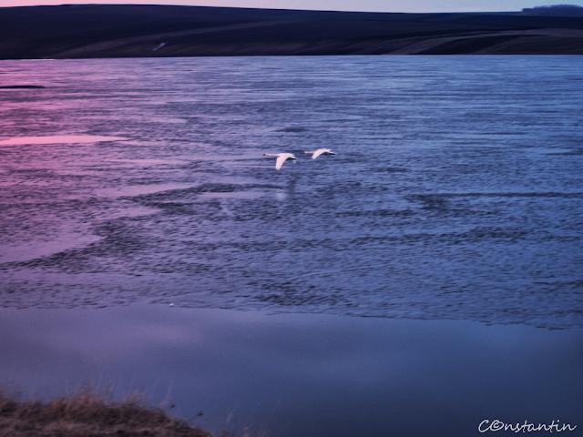 Larga Jijia - două lebede matinale (priveşte împrejur) blog FOTO-IDEEA