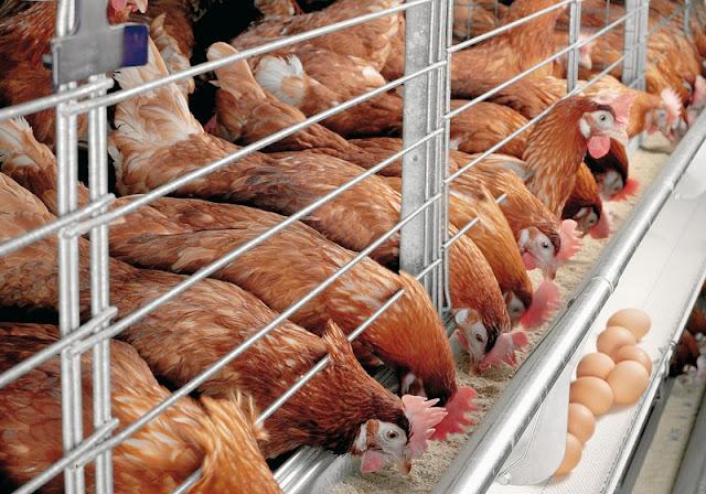 blitar, ayam ras, ayam petelur, harga telur