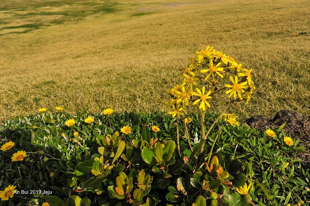 Hoa dại ven đường jeju