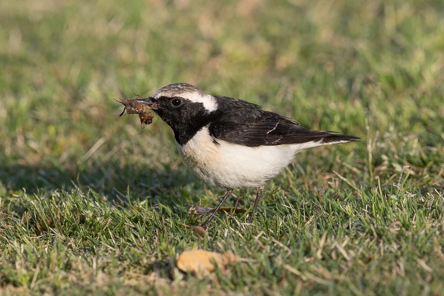 Pied Wheatear eating a Mole Cricket