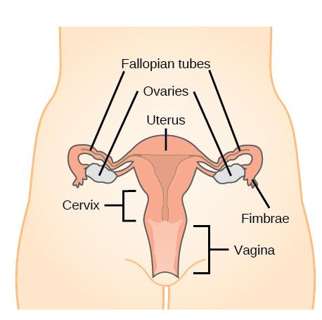 What is short cervix?