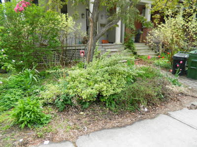 Toronto Wychwood Front Yard Spring Cleanup Before by Paul Jung--a Toronto Organic Gardener